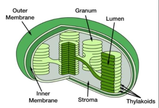gambar klorofil
