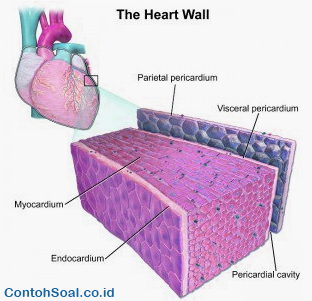 Gambar Otot Jantung