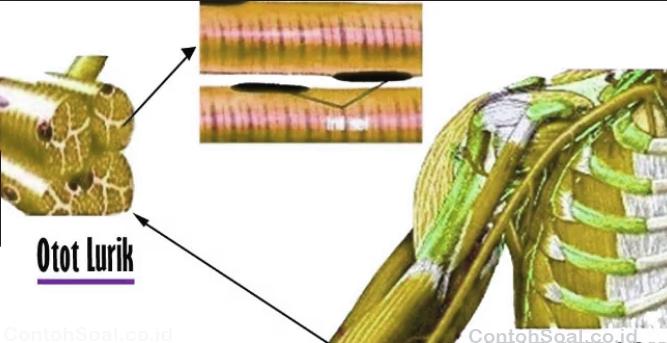 Gambar Otot Lurik
