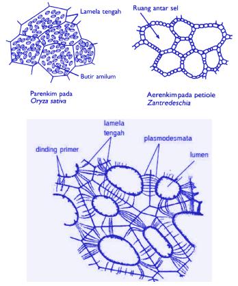 Struktur Parenkim
