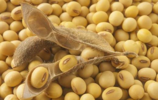 Tanaman Kacang Kedelai
