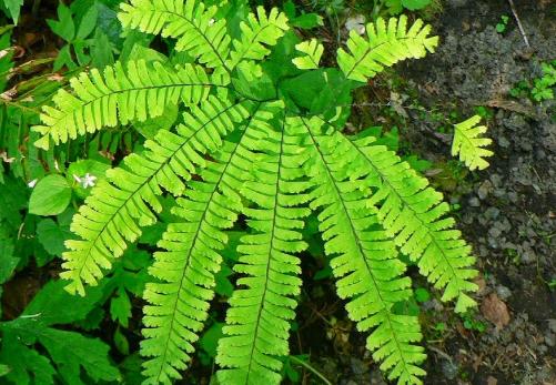 Subdivisi Pteropsida