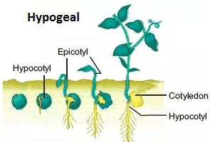 Hipogeal