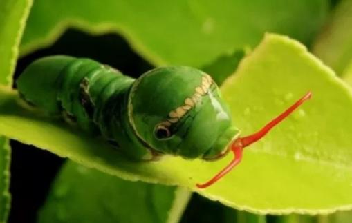 Fase ulat/Larva