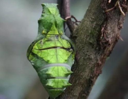 Fase Kepompong/Pupa