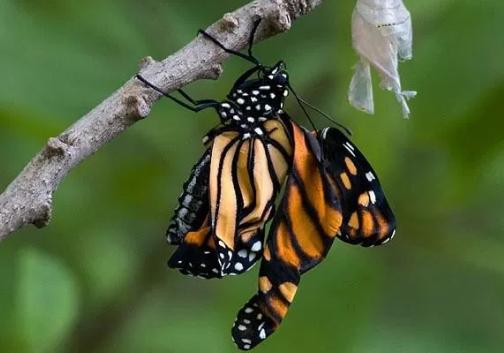 Fase menjadi kupu-kupu