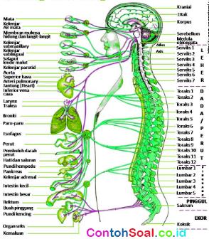Fungsi Tulang Belakang dan Sumsum Tulang Belakang