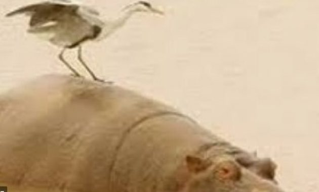 Bangau-dengan-Kuda-Nil