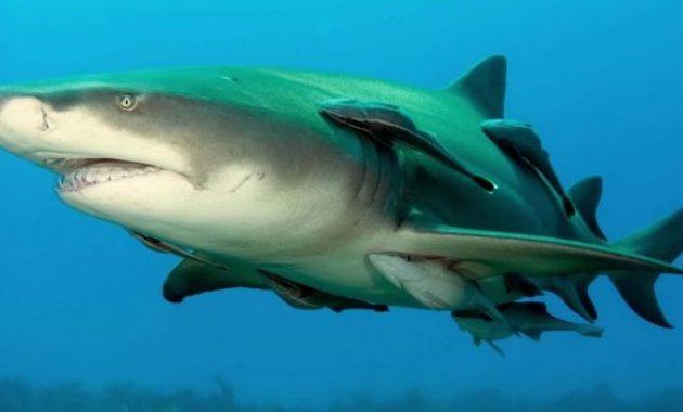 Ikan Remora bersama dengan Ikan hiu