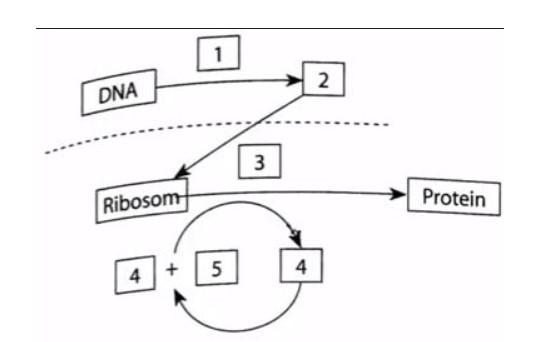 Proses Sintesis Protein