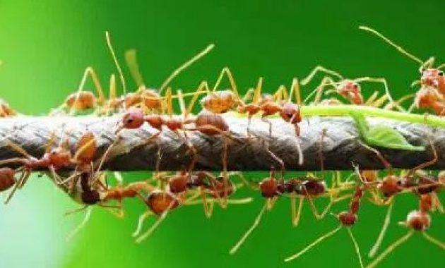 Semut-Rangrang-dan-Tumbuhan