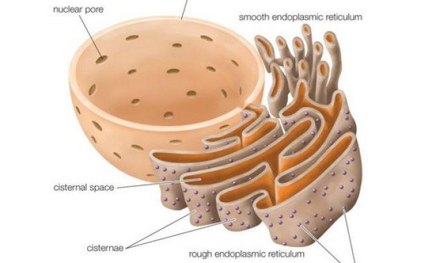 Struktur Retikulum Endoplasma