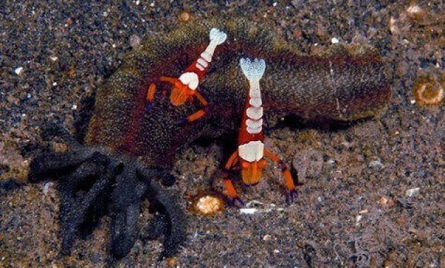 Udang dengan timun laut
