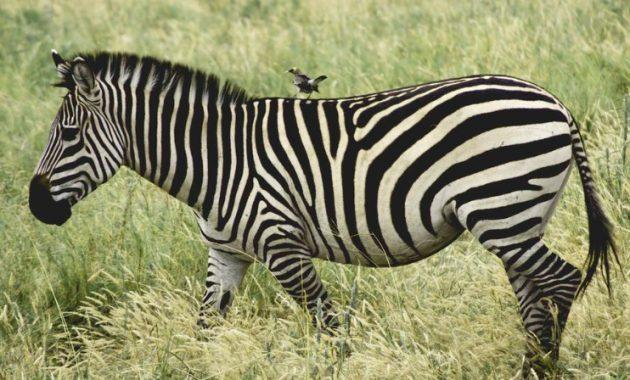 Zebra-dengan-wildebeest