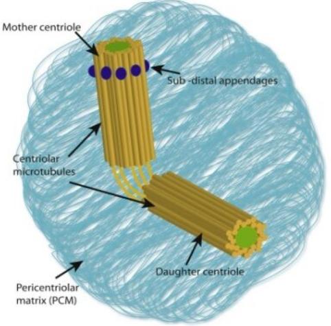 Struktur sentrosom