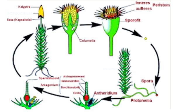 Fase Metagenesis Lumut