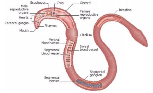 Anatomi Cacing tanah
