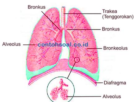 Fungsi Paru Paru Pengertian Struktur Anatomi Dan Cirinya