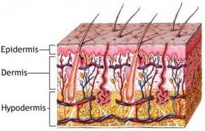 Hipodermis
