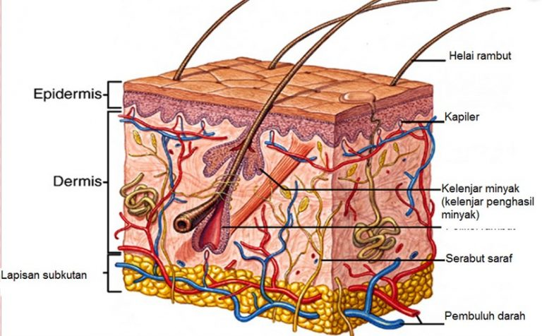 Lapisan kulit