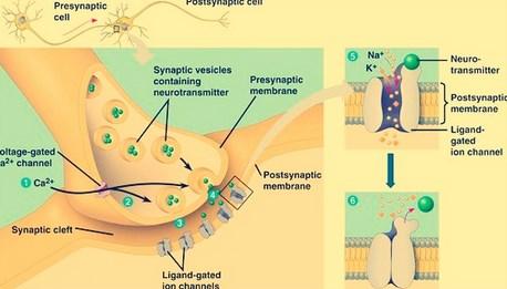 sinapsis