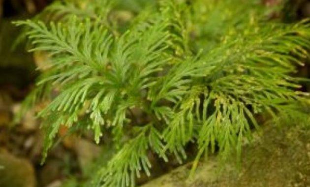 Pohon Paku Kawat