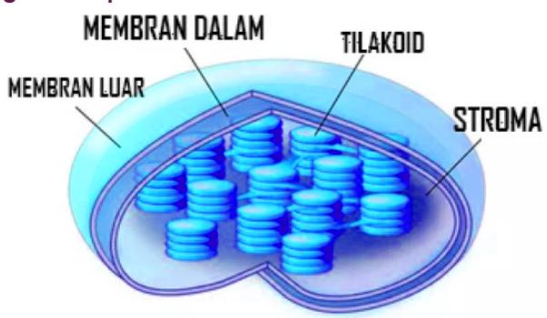 Fungsi Kloroplasma - Pengertian, Struktur, Ciri dan Gambar