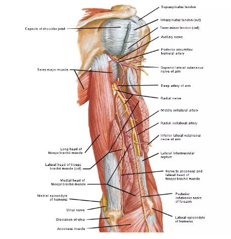 Fungsi Tulang Atas - Pengertian, Struktur dan Gambarnya