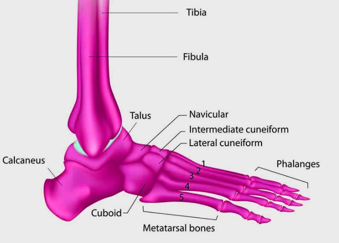 Fungsi Tulang Jari Kaki