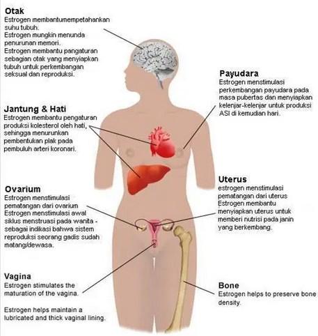 Gambar Hormon Estrogen