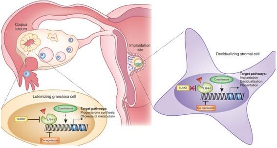 Gambar Hormon Progesteron