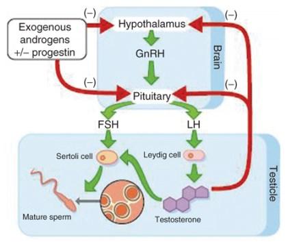 Gambar Hormon LH