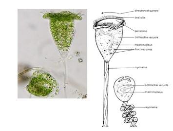 Gambar Ciliata Vorticella