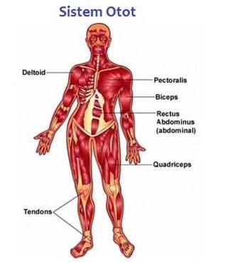 Gambar Sistem Otot