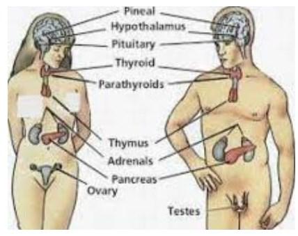 Gambar Sistem Endokrin