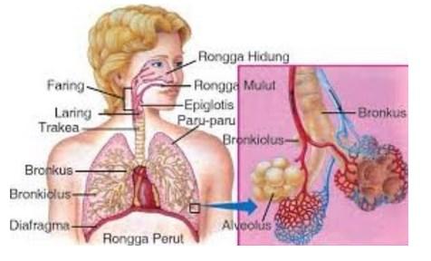 Gambar Sistem pernapasan