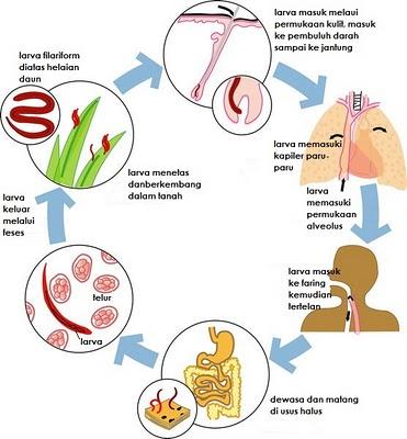 Ascaris vermox kezelése