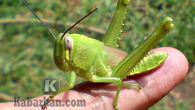 Tafsir digigit belalang