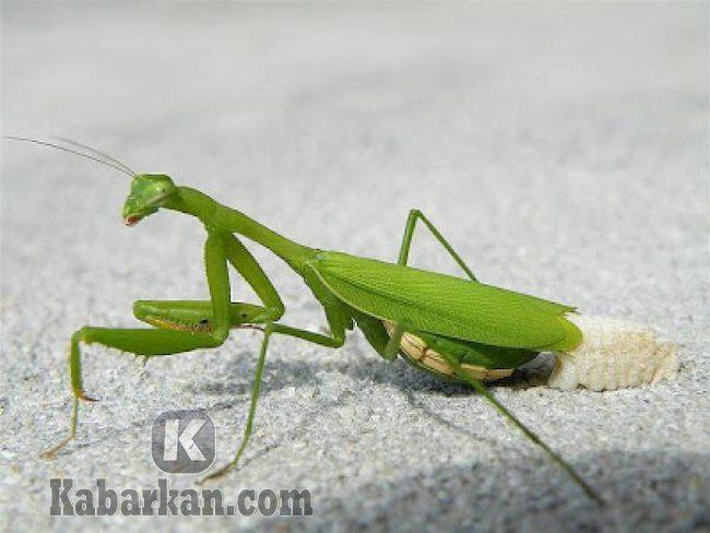 Tafsir dihinggapi belalang