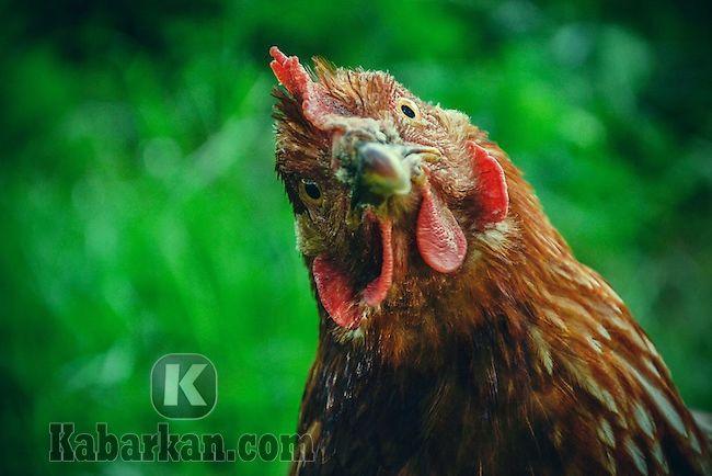 Tafsir melihat ayam mati