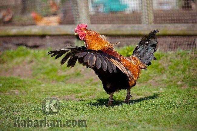 Tafsir melihat ayam terbang ke pohon