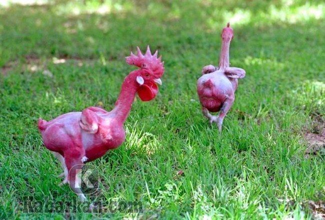 Tafsir melihat ayam tidak berbulu
