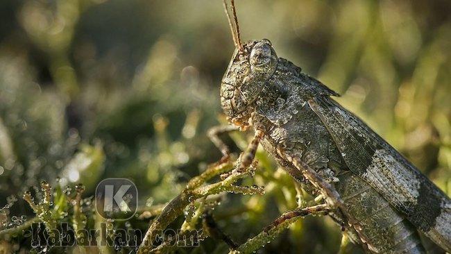 Tafsir melihat belalang masuk rumah