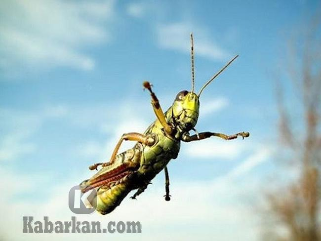 Tafsir melihat belalang terbang