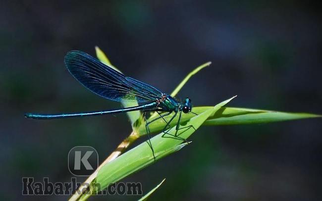 Tafsir melihat capung berwarna indah terbang