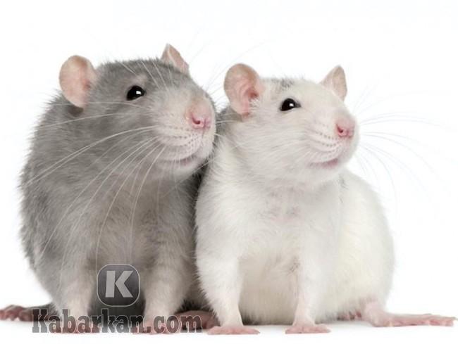 Tafsir melihat tikus dalam mimpi