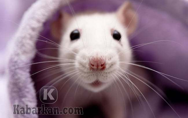 Tafsir melihat tikus keluar dari rumah