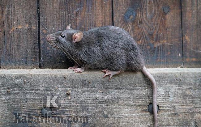 Tafsir melihat tikus lari