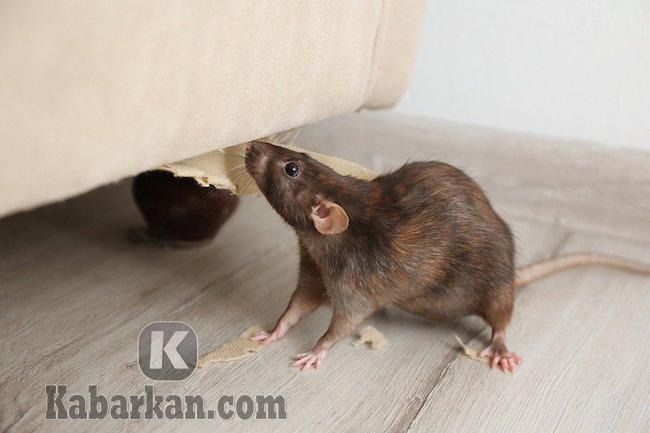 Tafsir melihat tikus mati