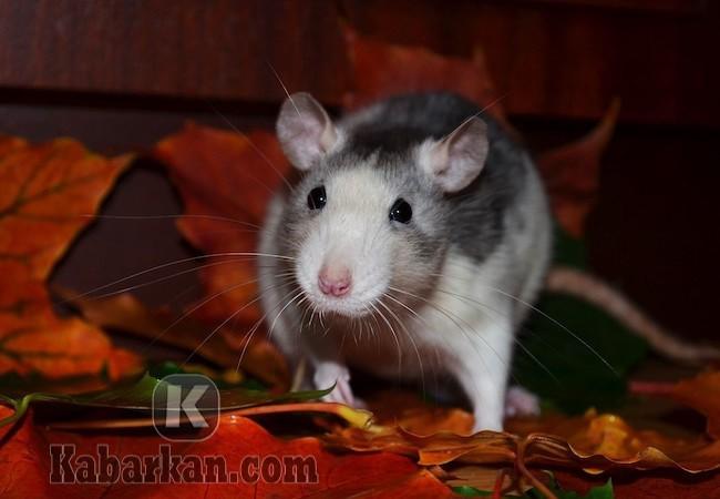Tafsir melihat tikus sedang makan